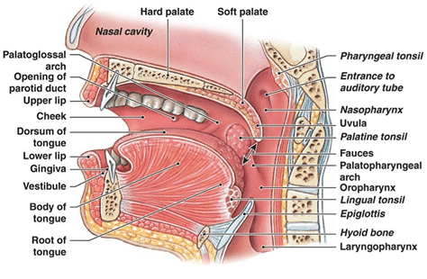soft-palate-and-uvula